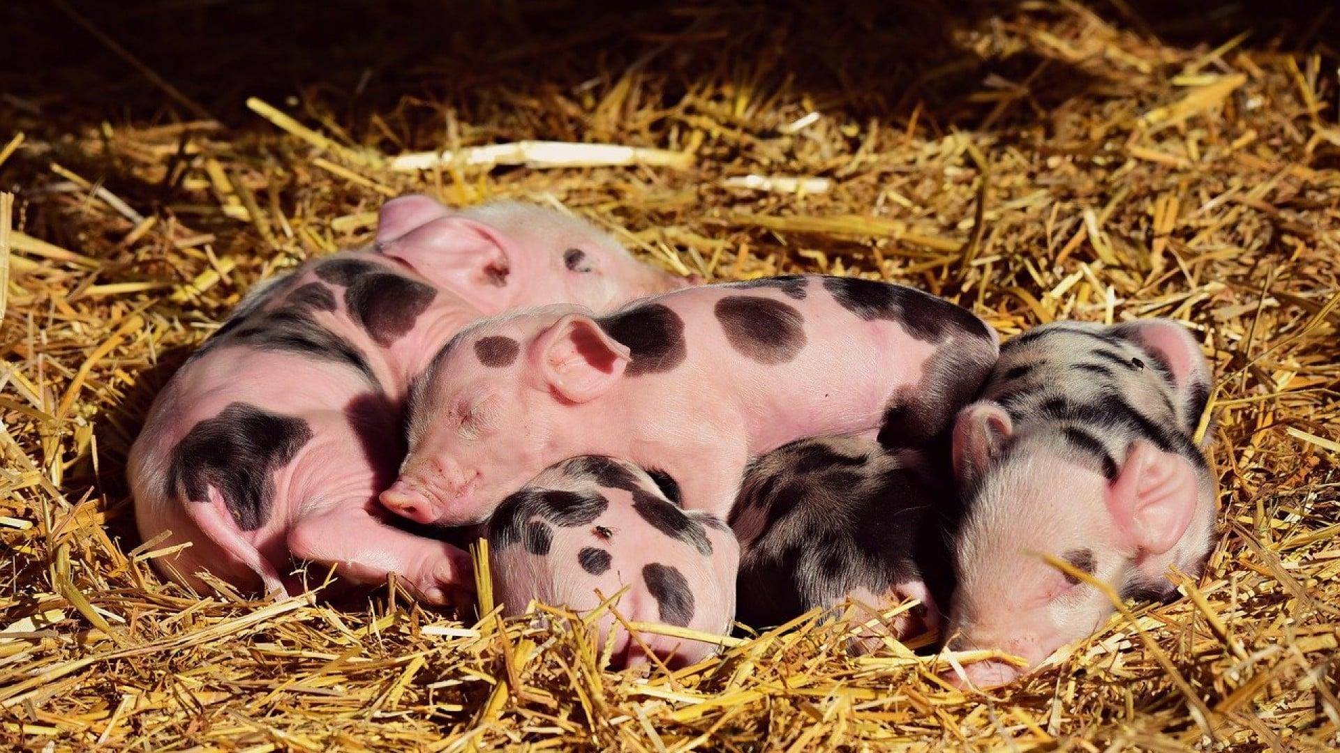 Les cochons issus de l'agriculture durable